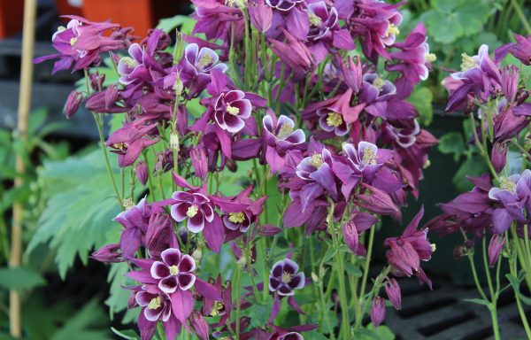 Columbine, Winky 'Purple & White'