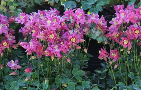 Columbine, Winky 'Rose & Rose'