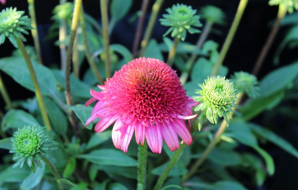 Coneflower, Cara Mia™ 'Rose'
