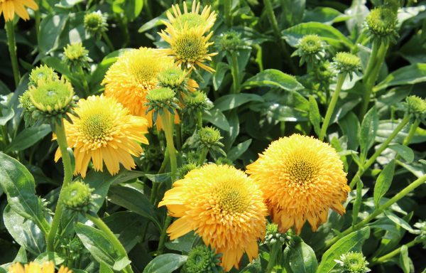 Coneflower, Cara Mia™ 'Yellow'