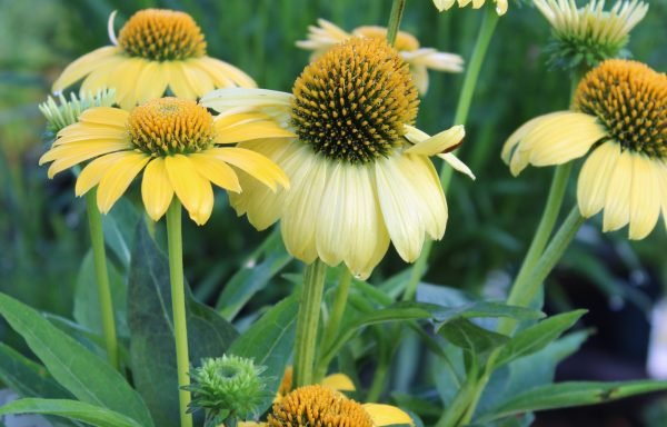 Coneflower, Sombrero® 'Lemon Improved'