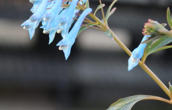 Corydalis, Hillier™ 'Porcelain Blue'