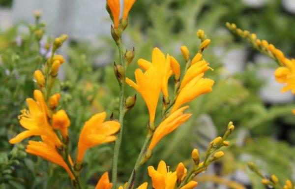 Crocosmia 'Orange Pekoe'