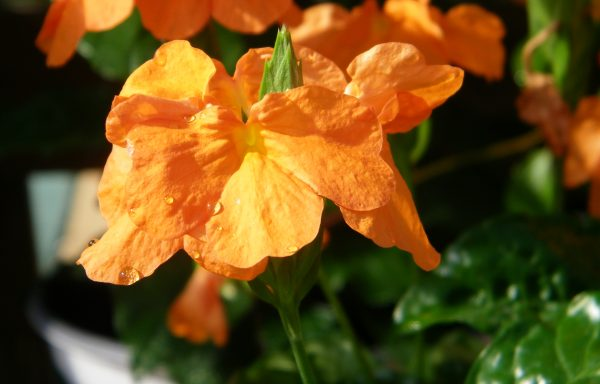 Crossandra 'Orange Marmalade'