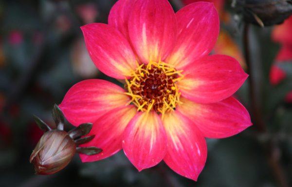 Dahlia, Mystic 'Sparkler'