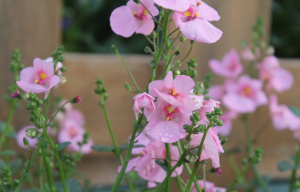 Diascia, Darla 'Light Pink'