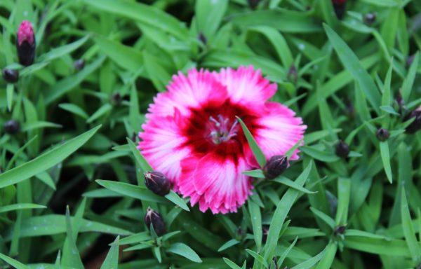 Dianthus, Diana 'Crimson Picotee'