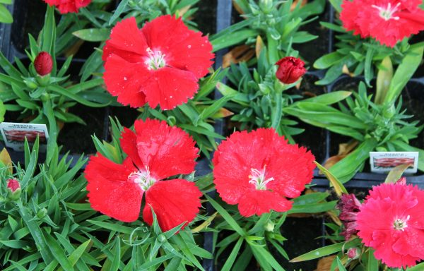 Dianthus, Diana 'Scarlet'