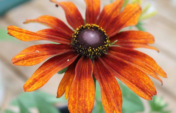 Echibeckia, Summerina™ 'Orange'