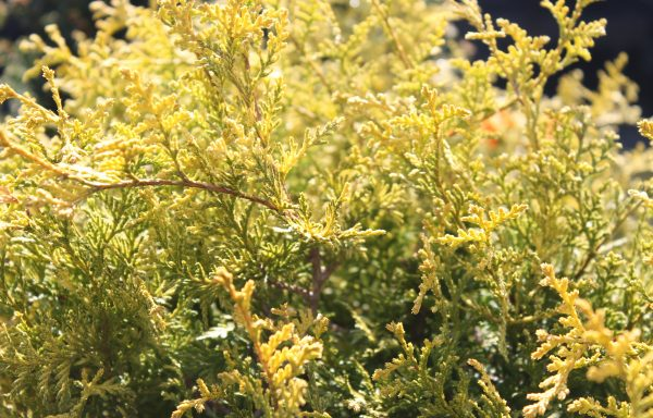 False Cypress 'Vintage Gold'