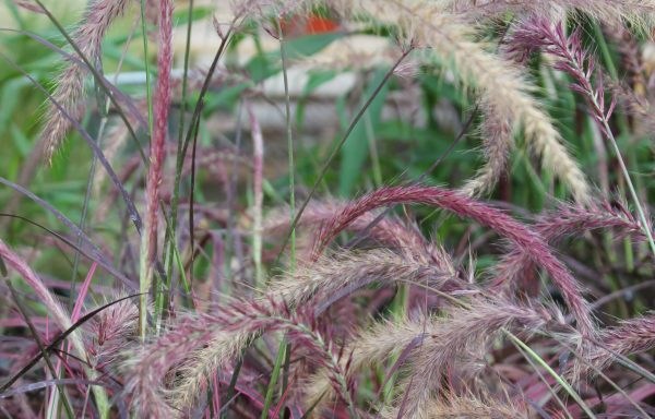 Grass, Fountain Grass 'Fireworks'