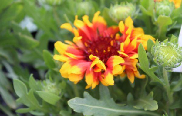 Blanket Flower, Spintop 'Red Starburst'