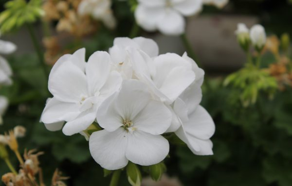 Geranium, Ivy 'Calliope Medium White'