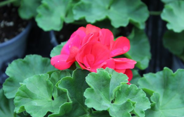 Geranium, Zonal 'Dynamo Dark Red'
