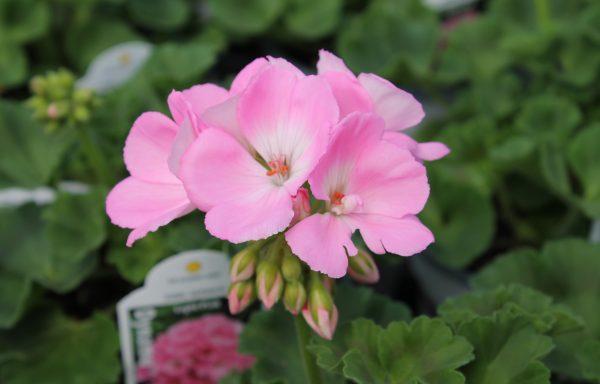 Geranium, Zonal 'Dynamo Light Pink'
