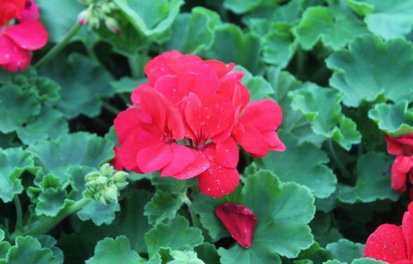 Geranium, Zonal 'Dynamo Red'
