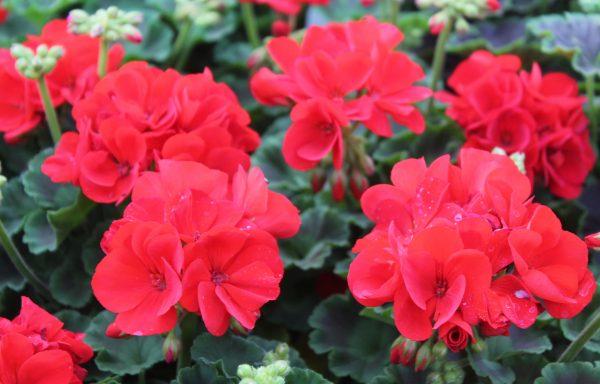 Geranium, Zonal 'Dynamo Scarlet'