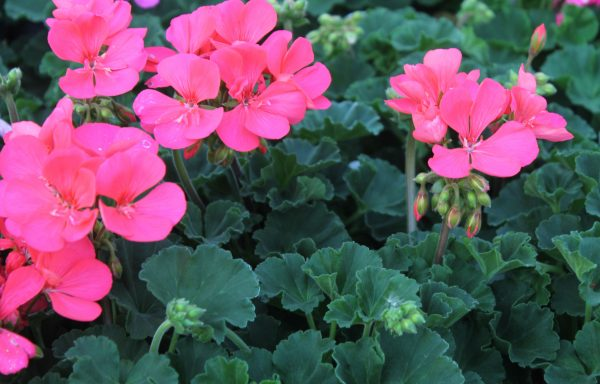 Geranium, Zonal 'Fantasia Flamingo Rose'