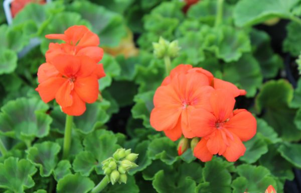 Geranium, Zonal 'Sunrise Orange'