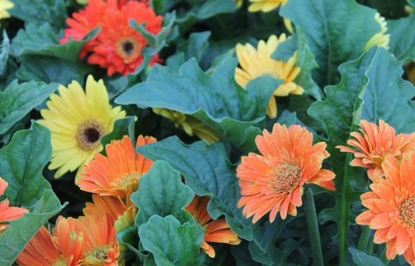 Gerbera, Jaguar 'Fire Dark Center'