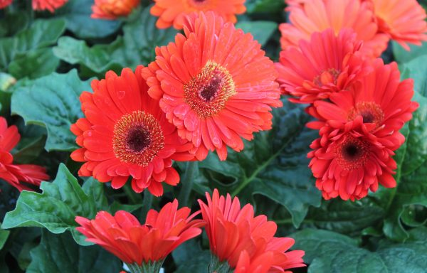 Gerbera, Jaguar 'Scarlet Dark Center'