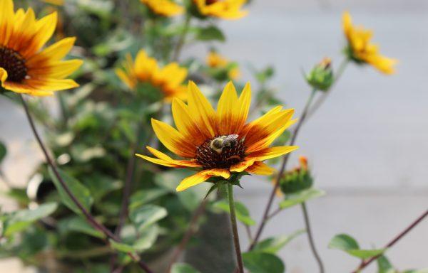 Sunflower, Sunbelievable 'Brown Eyed Girl'