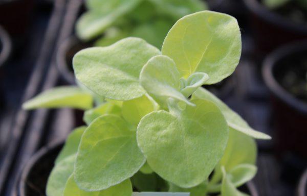 Helichrysum 'Licorice Lemon'
