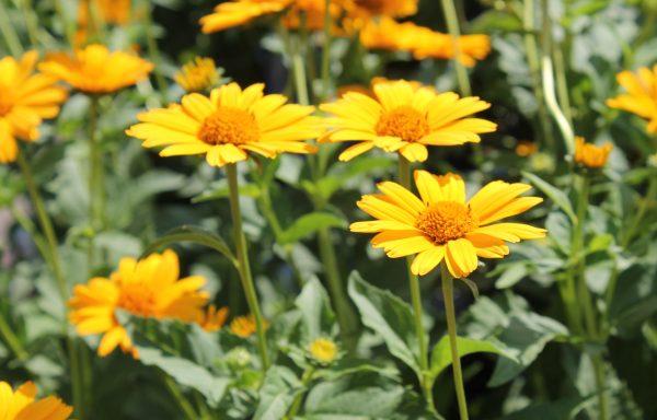Sunflower, False 'Tuscan Sun'