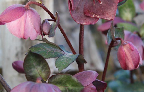Lenten Rose, Frostkiss® 'Penny's Pink'
