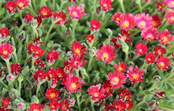 Ice Plant, HotCakes® 'Saucy Strawberry'