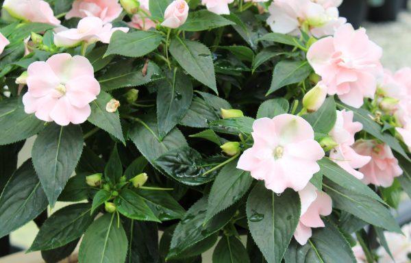 Impatiens, New Guinea 'Wild Romance Blush Pink'