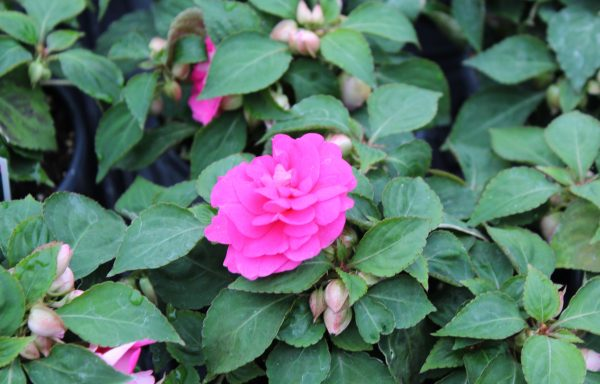 Impatiens, Double Fiesta 'Bonita Rose'
