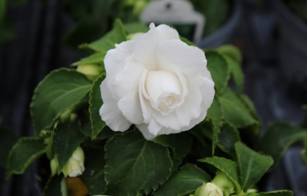 Impatiens, Double Fiesta 'Bonita White'