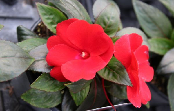 Impatiens, New Guinea 'Celebration Deep Red'