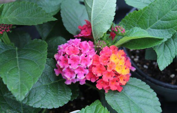 Lantana, Bloomify 'Rose'