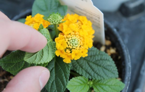 Lantana, Lucky 'Pot Of Gold'