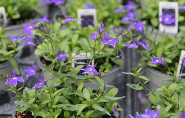 Lobelia Hot Royal Blue New For 2019 Wilsons Garden Center