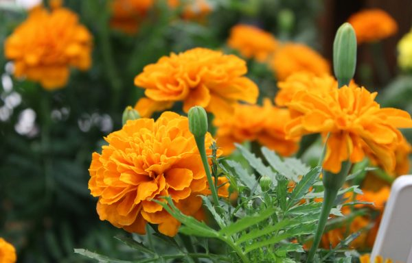 Marigold, Super Hero 'Deep Orange'