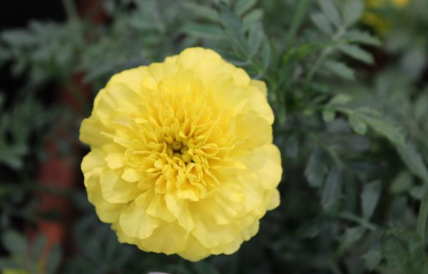 Marigold, Super Hero 'Yellow'
