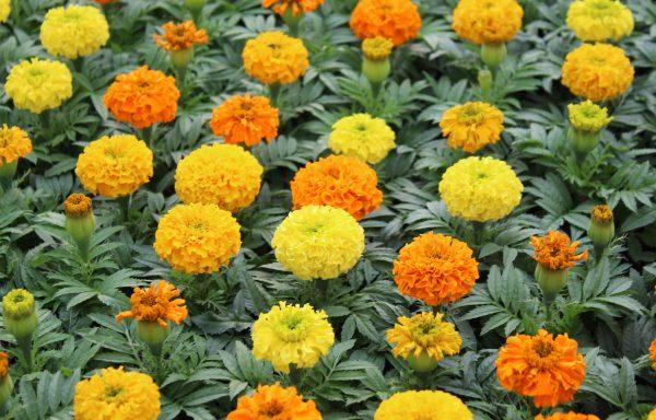 Marigold, Taishan 'Mix'