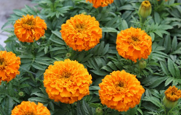 Marigold, Taishan 'Orange'