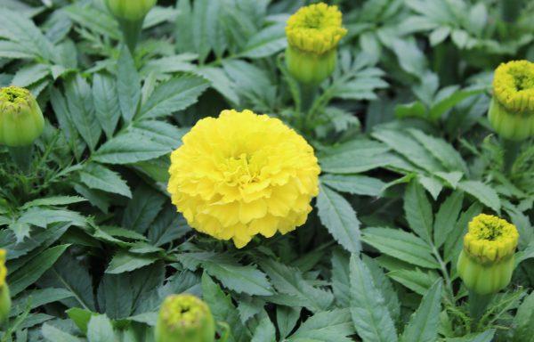 Marigold, Taishan 'Yellow'