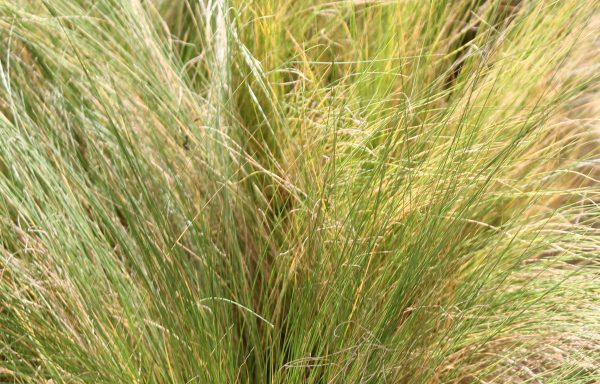 Grass, Stipa 'Pony Tails'