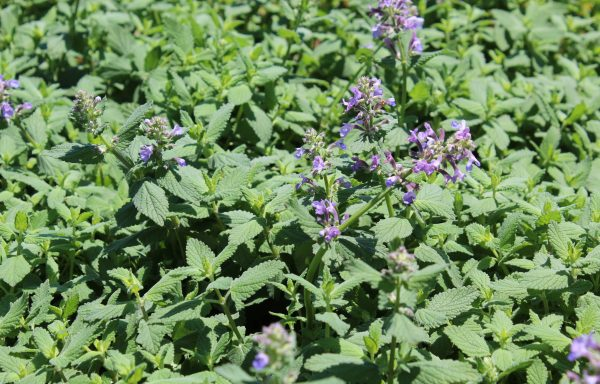 Catmint 'Summer Magic'