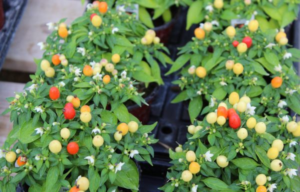 Ornamental Pepper, Hot Pops 'Yellow'