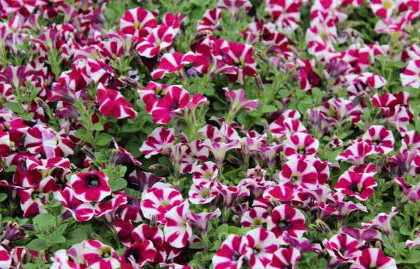 Petunia, Cascadias 'Bicolor Cabernet'