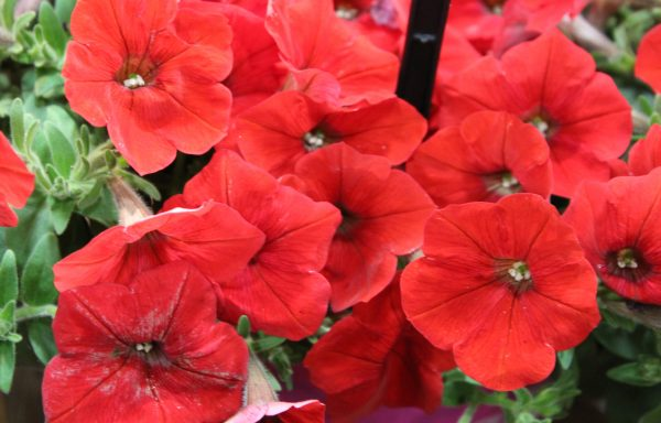 Petunia, Easy 'Wave 'Red Improved'