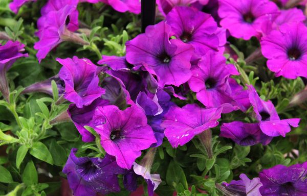 Petunia, Easy 'Wave 'Violet Improved'