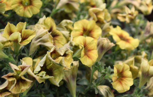 Petunia, Supercal Premium 'Caramel Yellow'