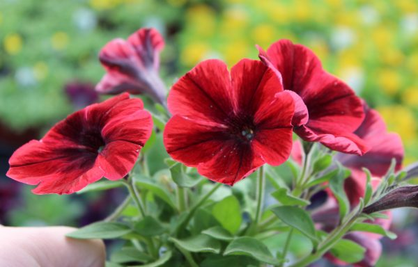 Petunia, Sweetunia 'Fiona Flash'